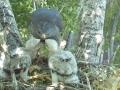 Gray Hawk feeding