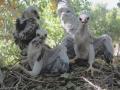 Gray Hawk chicks in the nest