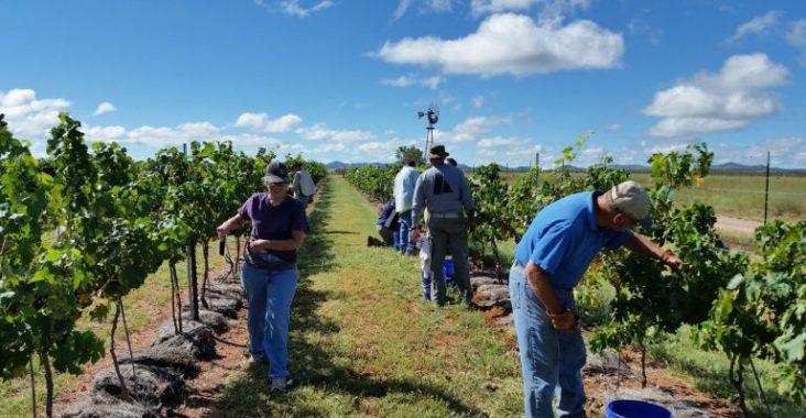 Friends and family of Kat Crockett help harvest wine grapes at Crockett's vineyard. (Photo courtesy of Kat Crockett).