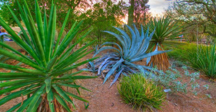 Blue agave. (Creative Commons photo by Jasper Nance).