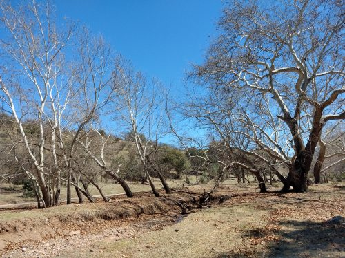 Sycamore trees line the dry riverbed of Harshaw Creek. (Photo by Clara Migoya/El Inde).