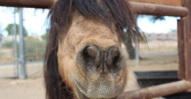 One of the miniature horses at TRAK getting its photo taken after breakfast.
